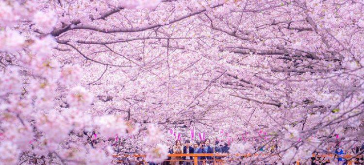 Lễ hội hoa anh đào Hanami (Nhật Bản) có gì thú vị?